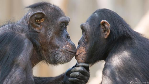 A male and a female chimpanzee (Pan troglodytes) looking deeply in each others eyes