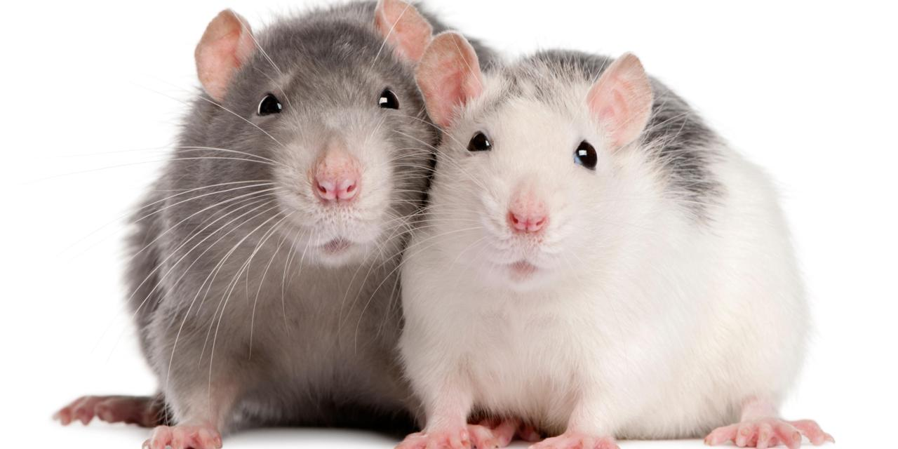 Two rats, 12 months old, in front of white background