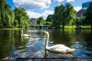 Swans swimming at the Boston Public Garden during summertime in Boston Massachusetts. Single exposure HDR image tone mapped in Aurora HDR.