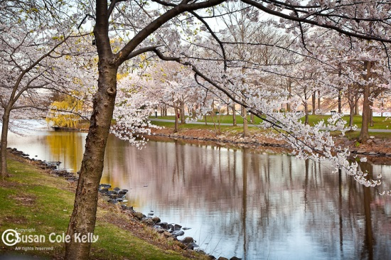 Cherry Blossoms on the Charles River Esplanade, Back Bay, Boston, MA